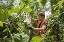 Een groenbeheerder verwijdert een Japanse duizendknoop in Harderwijk.