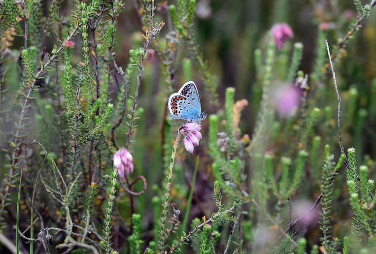 Vlindersoorten  die gedijen in natte gebieden zijn al sterk in aantal achteruitgegaan.  Beeld Marcel van den Bergh