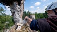 Planckendael telt voor derde jaar op rij meer dan honderd ooievaarskuikens