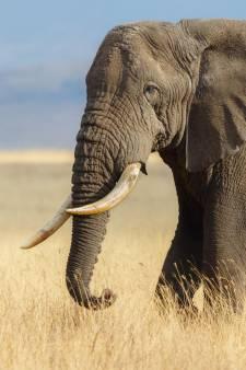 L'éléphant d'Afrique menacé d'extinction: il pourrait disparaître d'ici 2040