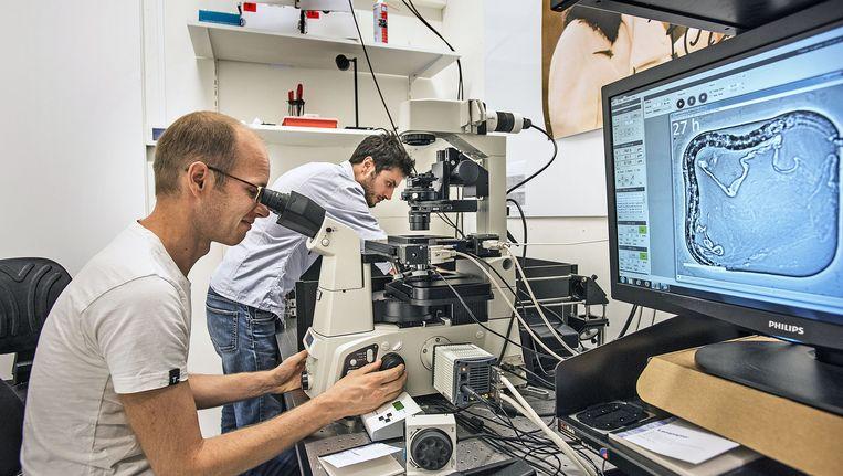 Jeroen van Zon, onderzoeker van het FOM-instituut Amolf in Amsterdam, bekijkt met een microscoop de C.elegans Beeld Guus Dubbelman