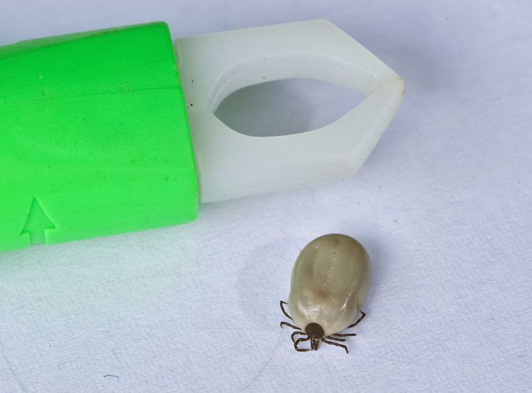 Een teek naast een tekentang. De spinachtige beestjes zijn regelmatig drager van de ziekte van Lyme. Beeld ANP XTRA