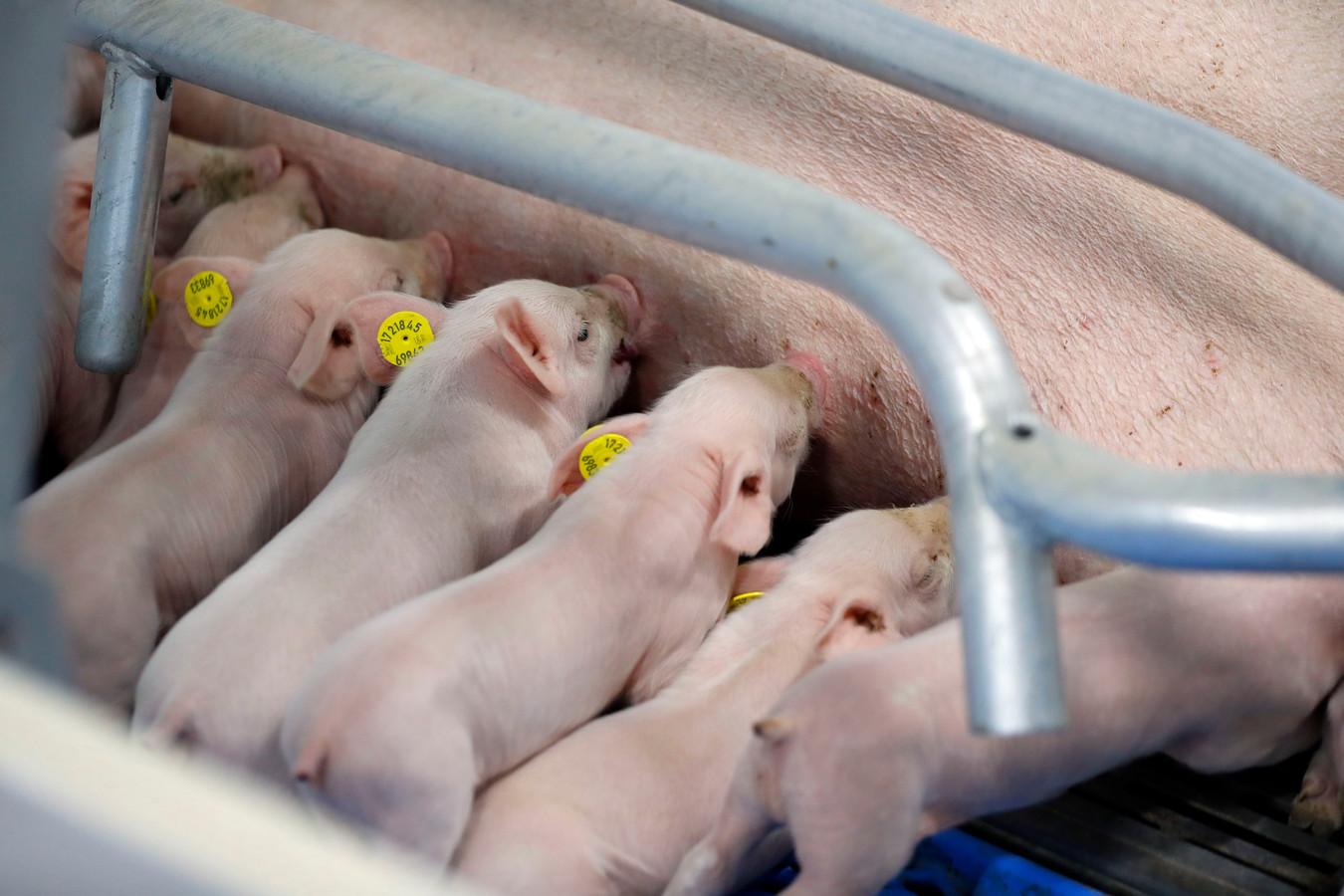 Nederland telt nu duizenden landbouwbedrijven met in totaal 100 miljoen kippen, 12 miljoen varkens, 4 miljoen koeien en 600.000 geiten.