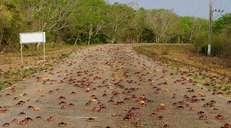 fotoreeks over Jaarlijkse invasie van krabben in Varkensbaai begonnen