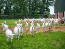 Lot van honderden melkgeiten hangt af van strijd over illegale woning in Beemte-Broekland