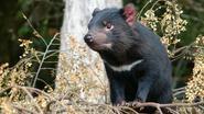 Tasmaanse duivel ontwikkelt genetische resistentie tegen kanker