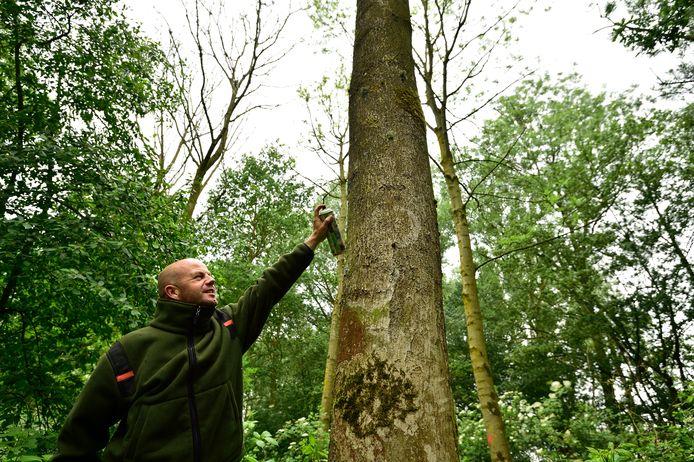 Twee jaar geleden was ook sprake van essentaksterfte in het Loetbos in de Krimpenerwaard. Staatsbosbeheer markeert zieke bomen die gekapt moeten worden.