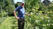 Vrijwilliger gezocht voor onderhoud druivenserre in Park van Hoegaarden
