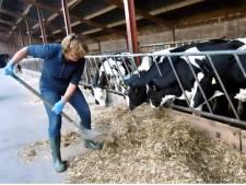 Burgemeester Buijs buffelt bij boer