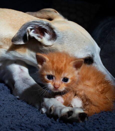 Gedumpte kitten Arie met kikkerpoten geadopteerd door dierenarts: 'Liefde op het eerste gezicht'