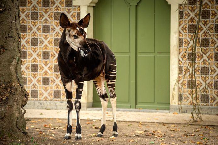 Okapi Bondo