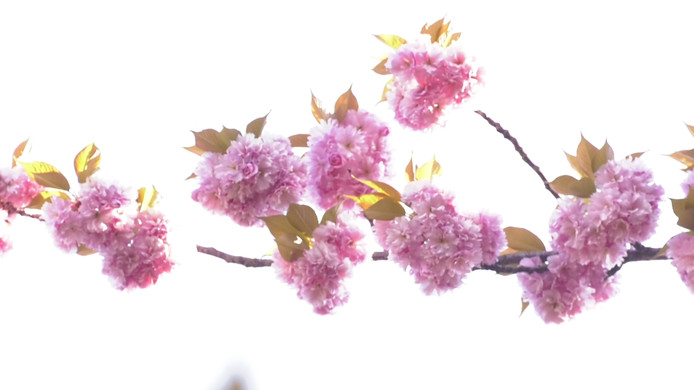 Bloeiende Japanse sierkers