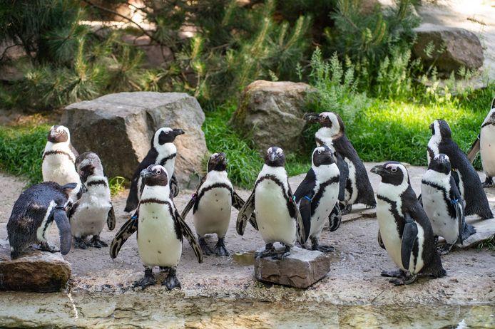 Altijd populaire beestjes, de zwartvoetpinguïns.