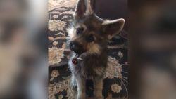Schattig maar ongezond: tweejarige hond ziet er nog steeds uit als puppy