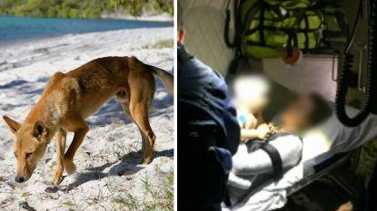 Peuter gered van dingo die hem uit kampeerwagen sleurde