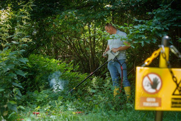 Een stroomstoot van 3000 volt moet de Japanse duizendknoop over de kling jagen. Zelfs dan zijn meerdere behandelingen plant voor plant nodig. Dat kost tijd en geld. Ook wordt wel gewerkt met een bladvlo.
