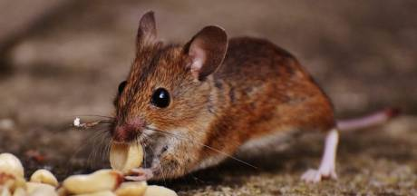 De muizen zijn terug, zo hou je de gehate huisgenoten buiten de deur