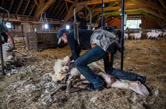 Het schapen scheren in Ede.