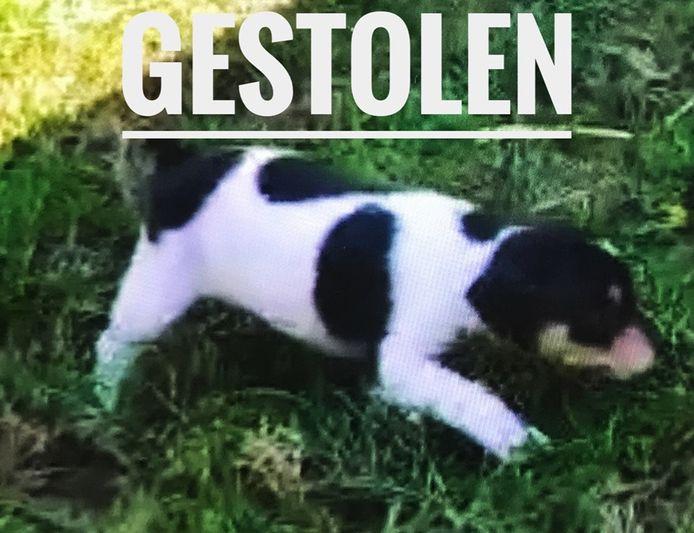 De gestolen hond, een boerenfox.