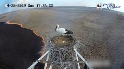 Timelapse: ooievaar kijkt vanuit nest hoe bosbrand onder haar alles verslindt
