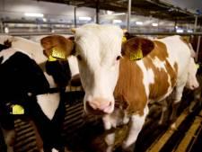 Rundveehouder in Zeeland mag bedrijf uitbreiden