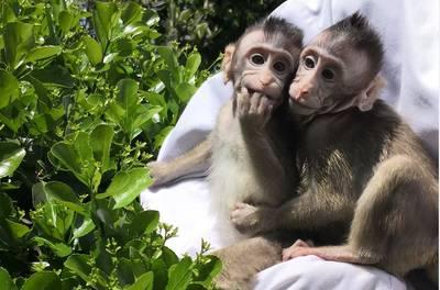 chinese-wetenschappers-maken-apen-(een-beetje)-slimmer-met-menselijke-genen
