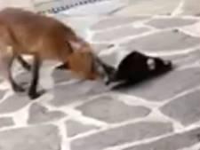Quand les renards réclament à manger et volent des pantoufles