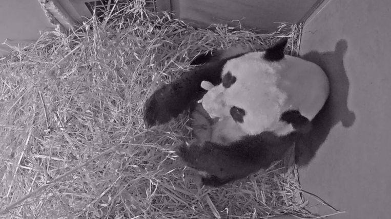 Wu Wen met haar pandajong in haar bek Beeld Ouwehands Dierenpark Rhenen