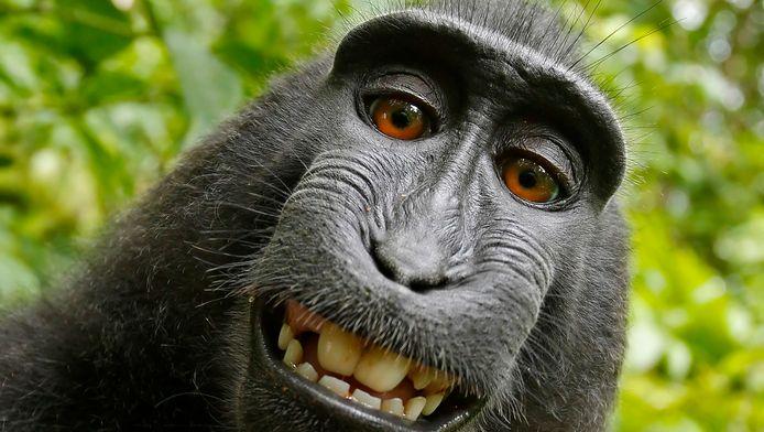 Tout a commencé en 2011 sur l'île de Sulawesi, en Indonésie, quand un macaque noir à crête s'était emparé de l'appareil photo de David Slater et avait appuyé sur le déclencheur.