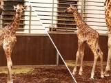 Jong van zeer bedreigde giraffensoort geboren