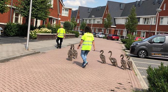 Een complete zwanenfamilie had besloten een kijkje te nemen in de Heerenhof.