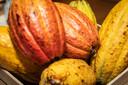 De vrucht waarin de cacaobonen zijn 'verstopt'. De bonen zijn rauw ook te eten, maar veel mensen vinden de smaak te bitter.