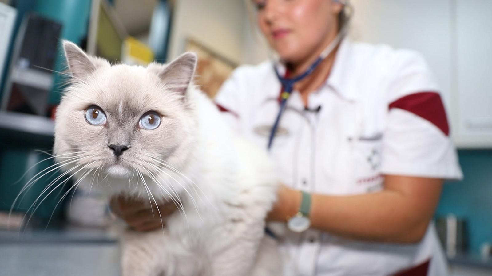 Dierenartsen waarschuwen voor dodelijke kattenziekte.