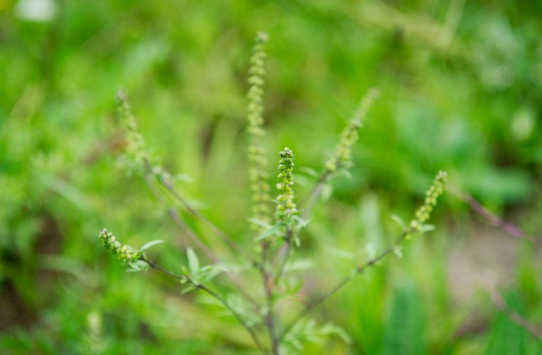 Het stuifmeel van de ambrosia kan een sterke allergische reactie veroorzaken. De plant bloeit van augustus tot en met oktober en kan daardoor het hooikoortsseizoen met twee maanden verlengen.