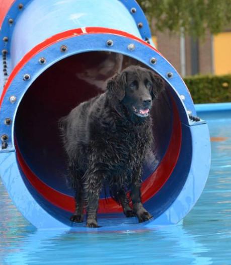 'Honden zijn net kinderen als ze in een Drunens zwembad mogen springen op Doggy Day'