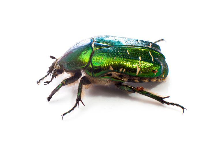Beetle insecten tellen Beeld