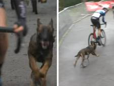 Un chiot court après les cyclistes et amuse la galerie au cyclocross d'Overijse