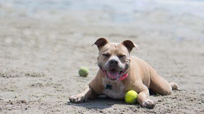 Baasje vlucht weg met pitbull nadat die peuter in gezicht bijt op het strand
