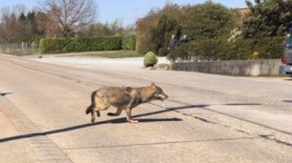 """Wolf opnieuw gespot in de Kempen: """"Voor het eerst werd waarneming  live gemeld"""""""