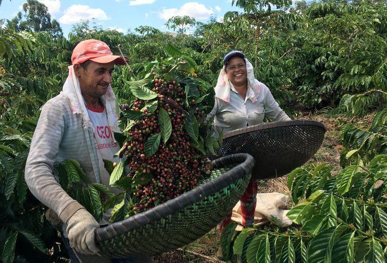 Werkers op een koffieplantage in Brazilië laten net geoogste robusta koffie zien. Beeld null