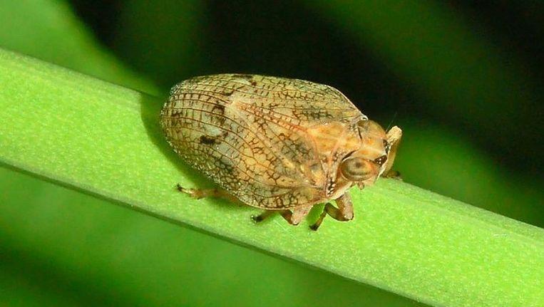 Een insect in de categorie Issus Beeld Wikimedia Commons