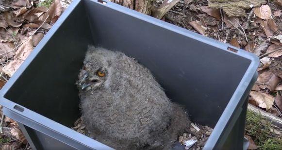 Natuurhulpcentrum Oudsbergen heeft een oehoejeng weer in het nest gezet, nadat het dier 15 meter naar beneden viel.