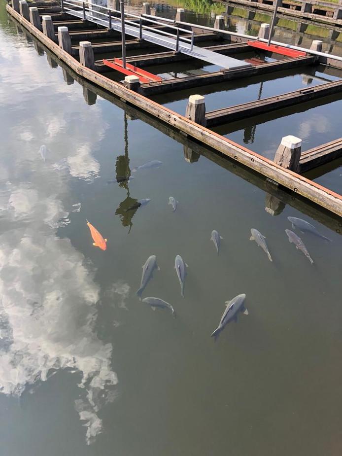 Karpers aan de oppervlakte, bij de brug Oisterwijksebaan.