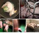 Videobeelden van Meat the Victims. Volgens de organisatie zijn deze beelden gemaakt vanuit de stal in Boxtel