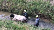 Brandweer haalt koe uit gracht