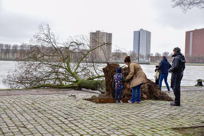 Een omgewaaide boom trekt veel bekijks aan de Rotterdamse Westerkade.