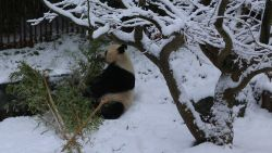 VIDEO. Panda dolt in de sneeuw in Pairi Daiza