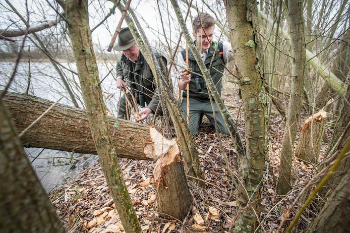 breda-foto : ron magielse boswachters floris hoefakker (rechts) en bart weel bij door bever omgeknaagde boom in buitengebied tussen rietdijk en de mark