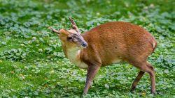 'Chinese Bambi' eet mooiste bloemen op dus moet hij dood: zelfs Natuurpunt laat jacht toe