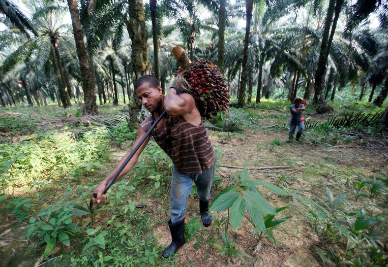 De meeste palmolie wordt op dit moment geproduceerd in Indonesië en Maleisië.